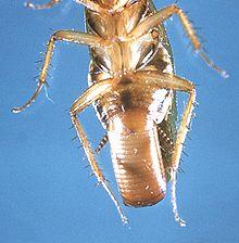 К какому виду относятся тараканы